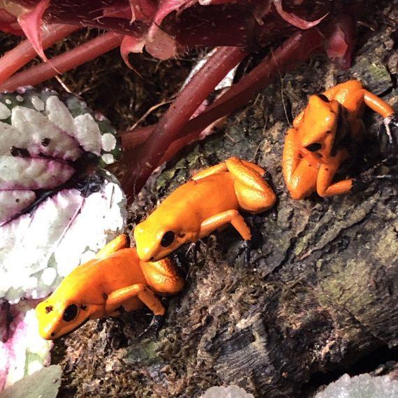 "Phyllobates Terribilis ""Orange"" Black Foot (Tesoros Lineage) Each"
