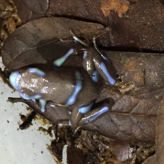 "Dendrobates Auratus ""Super Blue"" Froglet (Each)"