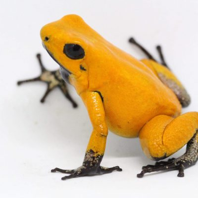"Phyllobates Terribilis ""Orange"" Black Foot (Tesoros Lineage) Each"